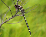 Arrowhead Spiketail - Cordulegaster obliqua