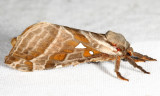 0018 – Silver-spotted Ghost Moth – Sthenopis argenteomaculatus