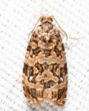 2772 - Labyrinth Moth - Phaecasiophora niveiguttana