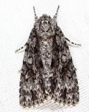 9248 - Witch Hazel Dagger - Acronicta hamamelis
