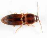 Conoderus auritus
