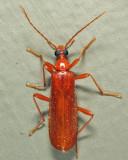 Dendroides concolor