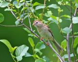 Sparrows - genus Spizella