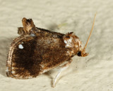 4658 - Packardia albipunctata