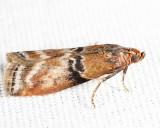 5786 - Poplar Bud Borer - Meroptera cviatella