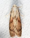 5629 - Bee Moth - Aphomia sociella