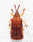 Basswood Leaf Miner - Baliosus nervosus