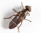 Window Flies - Scenopinidae