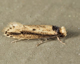 0392 - Dark-collared Tinea - Tinea apicimaculella