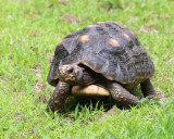 Red-footed Tortoise - Chelonoidis carbonarius