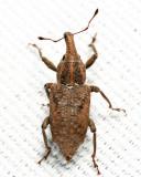 Listronotus sp.