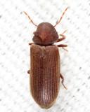 Death-watch & Spider Beetles - Ptinidae