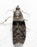 5787 - Lesser Aspen Webworm - Meroptera pravella