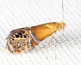 0228 - Ridings' Fairy Moth - Adela ridingsella