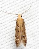 1803 - Conifer Coleotechnites - Coleotechnites coniferella