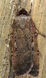 10926 - Clandestine Dart - Spaelotis clandestina