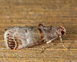 5588 - Orange-tufted Oneida - Oneida lunulalis