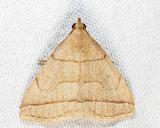 Zanclognatha cruralis or obscuripennis