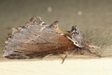 7924 - Elegant Prominent - Pheosidea elegans