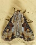 9385.1 - Double Lobed Moth - Lateroligia ophiogramma