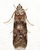 5796 - Locust Leafroller - Sciota subcaesiella