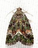 9051 - Small Mossy Lithacodia - Lithacodia musta