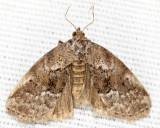 9035 - White-lined Graylet - Hyperstrotia nana