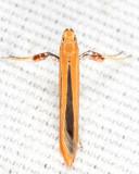 0609 - Caloptilia invariabilis