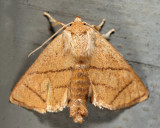 4667 - Inverted Y Slug Moth - Apoda y-inversum