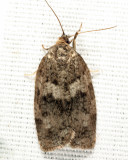 3637 - Large Aspen Tortrix - Choristoneura conflictana