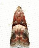 5672 - Cordovan Pyralid - Acrobasis exsulella