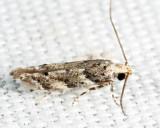 1803 - Conifer Coleotechnites Moth - Coleotechnites coniferella