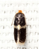 Ectoedemia sp.