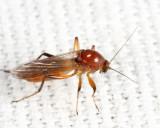 Palpomyia rufa