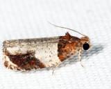 2827 - Hydrangea Leaftier - Olethreutes ferriferana