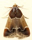 5510 - Meal Moth - Pyralis farinalis