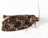 3638 - Spruce Budworm - Choristoneura fumiferana