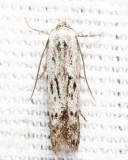 Hypatopa sp.