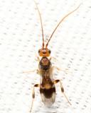 Phanerotoma sp.