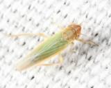 Leafhoppers genus Dikraneura