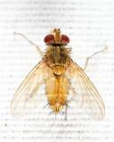 Anisia flaveola