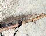 Antlions - Myrmeleontidae