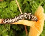 8499 - fungus moth cat - Metalectra sp.