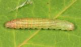 5789 - Striped Sumac Leafroller - Sciota subfuscella