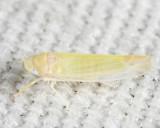 Leafhoppers genus Typhlocyba