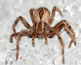 Running Crab Spiders - Philodromidae