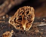 Resupinatus striatulus