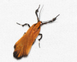 Lycomorphodes sordida