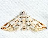 Oxyelophila harpalis