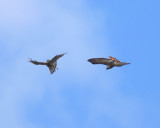 Red-shouldered and Red-tailed Hawk Hawk fight